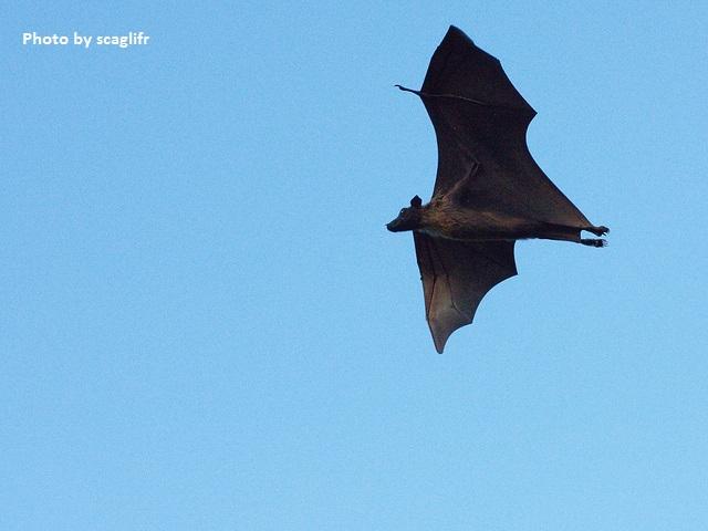 "giant bat called ""flying fox"""