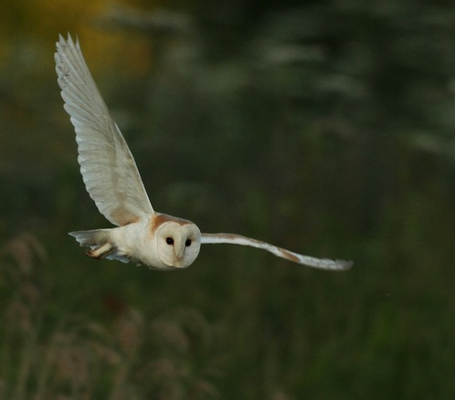 "Flying barn owl - Tyto Alba - photo by ""Wild Lens"""